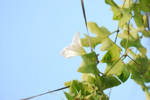 Ivy Gourd Flower
