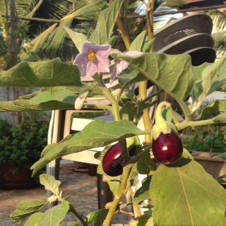 Eggplant_flower (2)