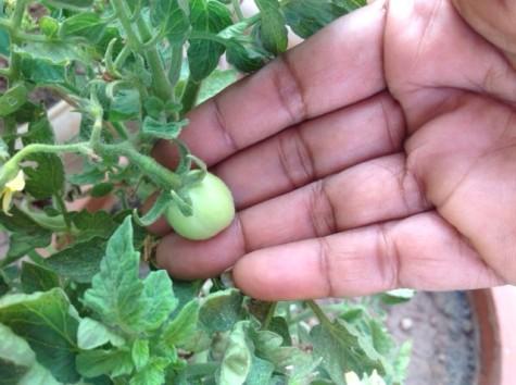 Tomato_baby (2)