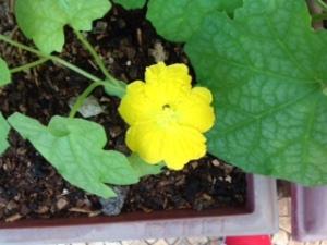 Gourd_flower (3)