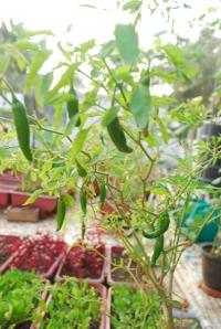 Chillies (5)