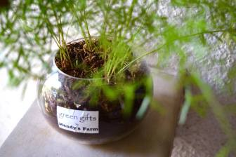 The Art of Asparagus - variegated asparagus in a mini-terrarium - Rs 400 per piece - a Green Gift by Mandy's Farm (2)