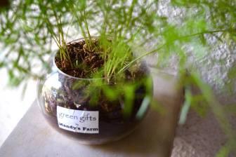 The Art of Asparagus - variegated asparagus in a mini-terrarium - Rs 400 per piece - a Green Gift by Mandy's Farm (2)